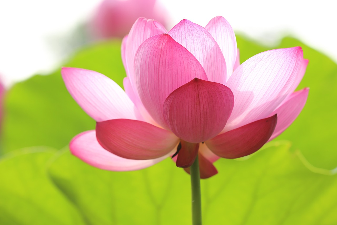 lotus-846059_1280
